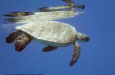 Черепахи Красного моря